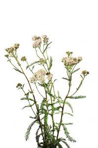 Gemeine Schafgarbe, Achillea millefolium, Asteraceae